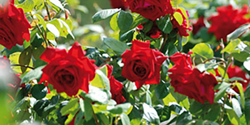 Rose beds set to be revamped